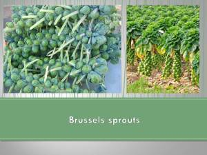 Brusselssprouts1